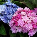 Гортензия крупнолистная махровая (розовая-голубая)